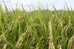 Green rice field. Bladeand stems Royalty Free Stock Photos