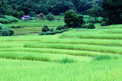 Green rice field Stock Image