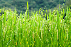 Green rice field. In Thailand Stock Image