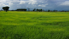 Green Rice field Stock Photo