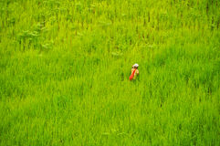 Green rice field. A woman working in rice field in thailand royalty free stock image