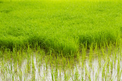 Green rice field Royalty Free Stock Photography