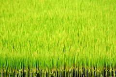 Green rice field. A background of green rice paddy field Stock Photography