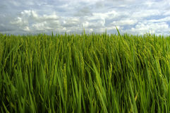 Green rice field Stock Photography