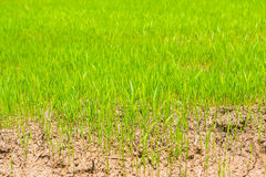 Green rice field  . Royalty Free Stock Images
