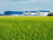 Green rice field and agricultural factory in developing country Stock Image