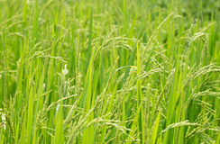 Green rice field. Bacground of green rice field Stock Image