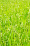 Green rice field. Bacground of green rice field Stock Photography