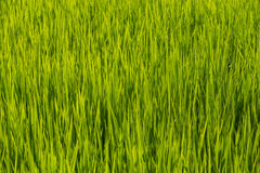 Green rice field. Green background of rice field Royalty Free Stock Images