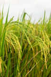 The Green rice in the field Royalty Free Stock Photography