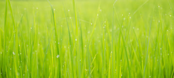 Green rice field background bokeh Stock Image
