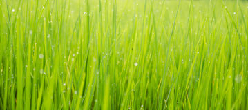 Green rice field background bokeh Stock Photo