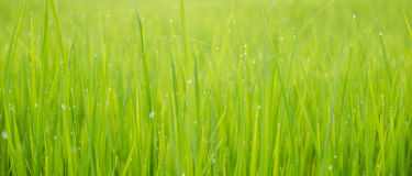 Green rice field background bokeh Royalty Free Stock Image