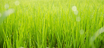 Green rice field background bokeh Stock Images