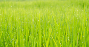 Green rice field background bokeh Royalty Free Stock Images