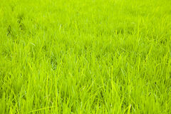 Green rice field background. In Korea Royalty Free Stock Image