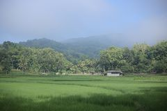 Green rice field for background royalty free stock images