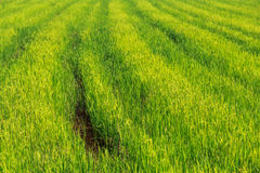 Green rice field background on sunshine. The green rice field background on sunshine stock photos