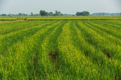 Green rice field background on sunshine. The green rice field background on sunshine stock photo