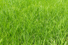 Green rice field background Royalty Free Stock Photos