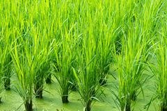 Green rice field background Stock Image