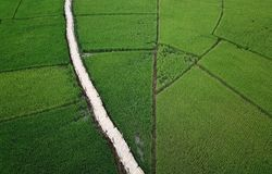 A lush green rice field with bamboo bridge stretches across the rice fields. royalty free stock photo
