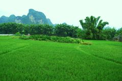 Green rice field and bamboo Yangshuo, Guilin Stock Images
