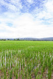 Green rice field with beauty sky in Thailand. Asia Stock Image