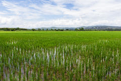 Green rice field with beauty sky in Thailand. Asia Stock Images