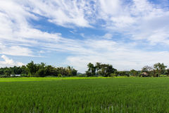 Green rice field with beauty sky in Thailand. Asia Royalty Free Stock Photo