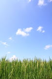 Green rice field and blue sky. Field rice and the blue sky in the thailand Stock Photo