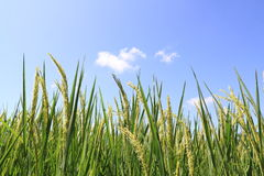 Green rice field and blue sky. Field rice and the blue sky in the thailand Royalty Free Stock Images
