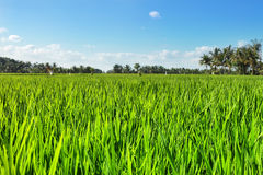 Green rice field with blue sky Royalty Free Stock Photos