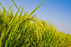 Green rice field and blue sky Royalty Free Stock Photos