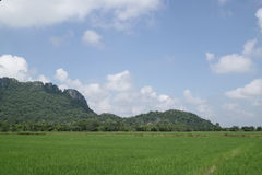 Green rice field and blue sky. Royalty Free Stock Image
