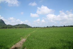 Green rice field and blue sky. Royalty Free Stock Photos
