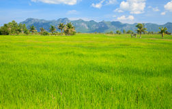 Green rice field with blue sky Royalty Free Stock Images