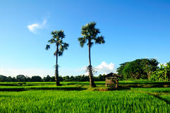 Green rice field and blue sky, In Asia Stock Images
