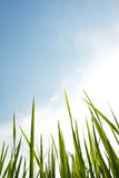 Green rice field with blue sky background Stock Photos