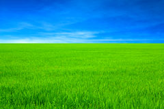 Green rice field and blue sky Royalty Free Stock Photography