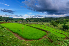 Green rice field with a blue sky in Chiang mai. Green rice field with a blue sky in Chiang mai, Thailand Royalty Free Stock Photography