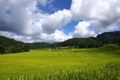 Green rice field blue sky Royalty Free Stock Images