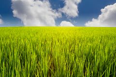 Green rice field and blue sky Royalty Free Stock Photo