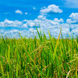 Green rice field with blue sky Stock Photos