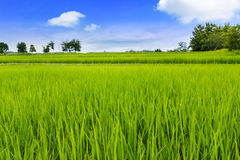 Green rice field. And blue sky with white clouds royalty free stock images