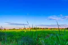 Green rice field with bright blue sky Royalty Free Stock Photo