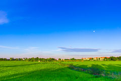 Green rice field with bright blue sky Royalty Free Stock Photography