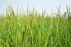 Green Rice field with brown ears of rice on tips of the rice trees Stock Photo