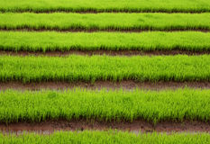 Green rice field from Chiang Mai. Thailand royalty free stock photo
