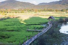 Green rice field in Chiang rai, Thailand Stock Photo